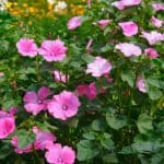 Growing lavatera - how to grow lavatera