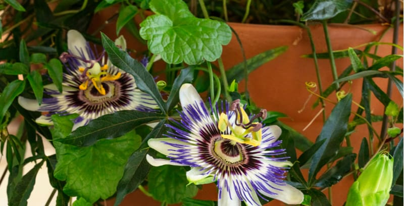 Growing passion flowers in pots and containers in a great way to grow passion flowers especially the more tender varieties, learn more now about growing passifloras