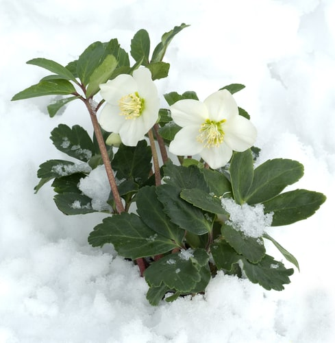Helleborus niger also known as christmas rose