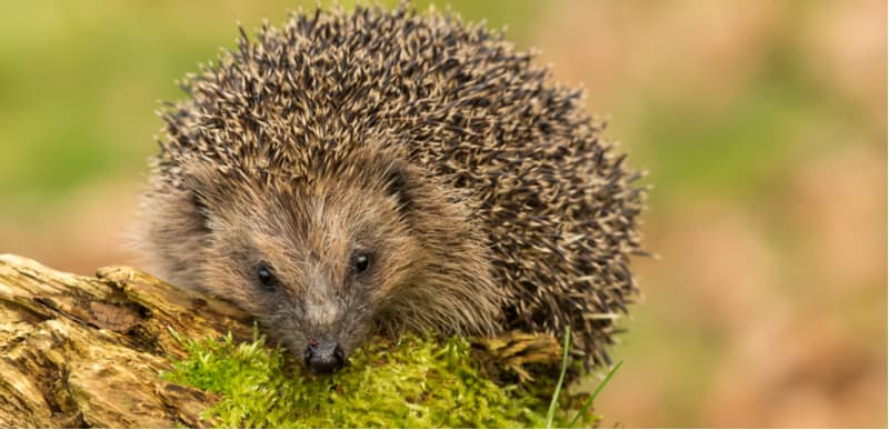 If you want to know how to attract hedgehogs into your garden then we have some great tips including providing the right environment, giving them and shelter and more