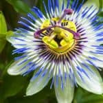 Passion flowers are one of the most stunning climbers and in this article, we look at how to grow passion flowers and include lots of care tips and more