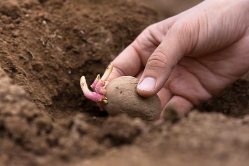 How to grow seed potatoes for christmas
