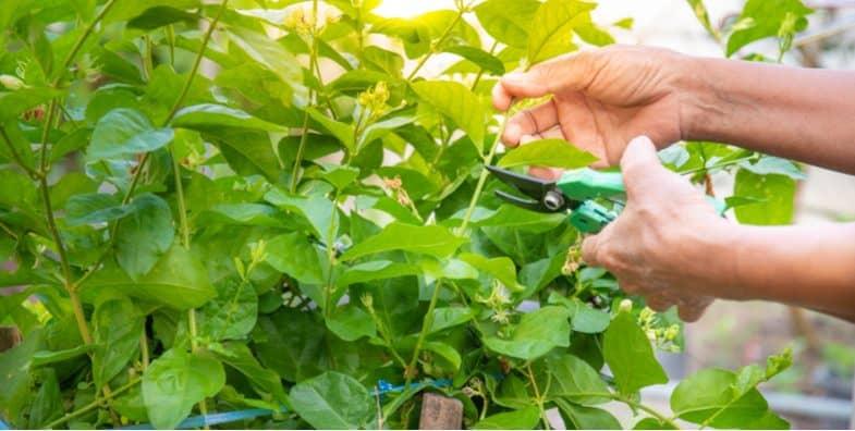 How to take Jasmine cutting – Hardwood cutting