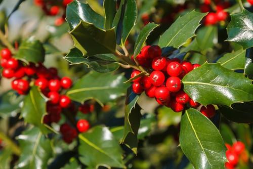 Holly also known as Ilex aquifolium
