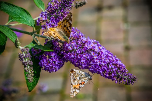 Planting Buddleia. plant in full sun or partial shade in any well-drained soil.
