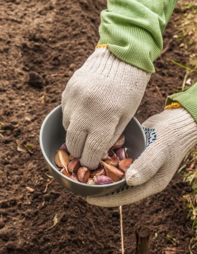 If you are planning on growing winter crops, now is the time to do it. Things like garlic and winter salads do particularly well especially if you grow them in a greenhouse. It's also a great time to plant winter onions sets.
