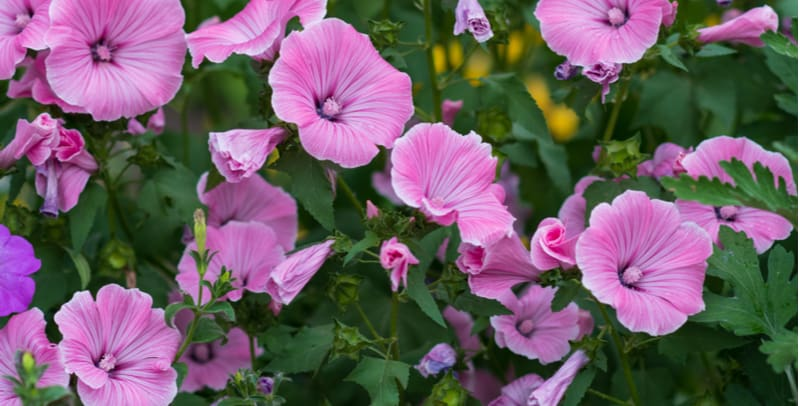 Pruning lavatera - how and when to prune lavatera