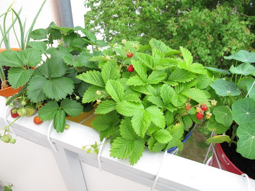 Strawberries trailing over balcony