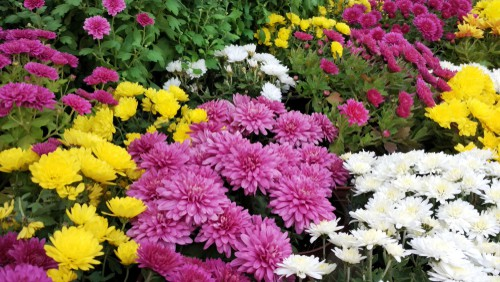 When to take chrysanthemums cutting. Take chrysanthemums cutting around April when they start to shoot