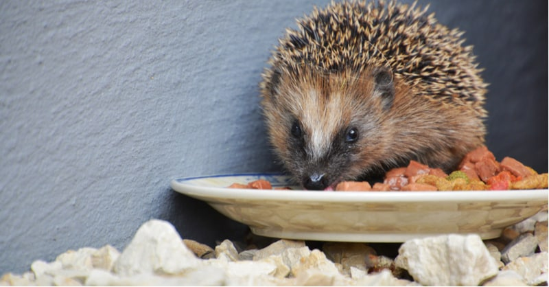 What to feed hedgehogs - specialised hedgehog food, wet cat and dog meat, kitten biscuits, nuts, sunflower seeds, slugs, worms fresh berries and fruit