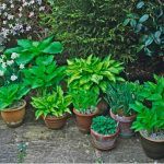 Hostas are great for growing in shady areas of the garden but they are just as at home when growing hostas in pots. We look at planting hostas in containers.