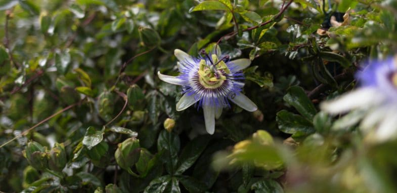 How to take cuttings from passion flowers