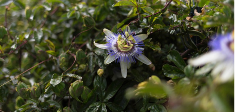 In this article, we go through step by step how to take cuttings from passion flowers which are best done at the end of summer taking semi-ripe cutting. Learn more