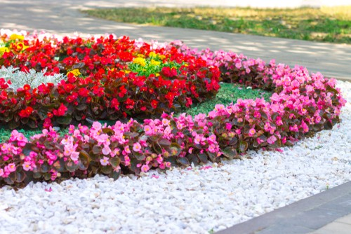 Planting begonias outdoors