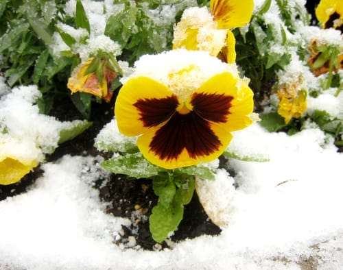 Winter pansies which are perfect for winter pots