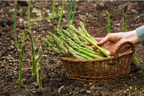 Asparagus is famous for having to wait two years before you can start to harvest the spears but there well worth the wait. If you have the space for a small bed of asparagus then try planting one of the autumn planting varieties such as Pacific purple.
