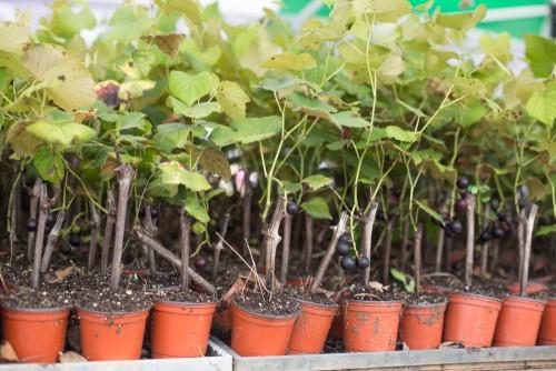 Buying grape vines