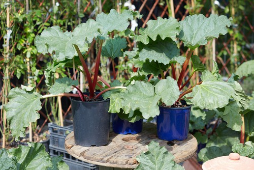 caring for rhubarb grown in pots. Water regularly and feed in spring.