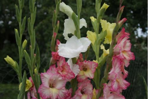 Gladioli flower