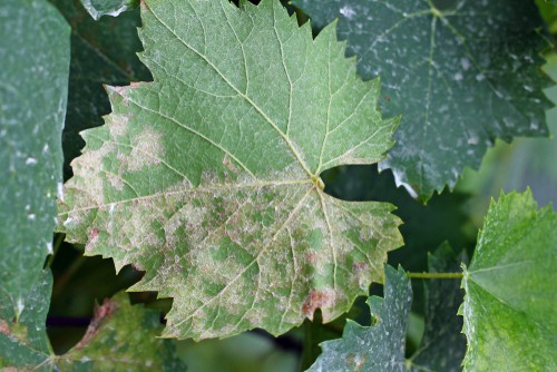 grape vine diseases and problems