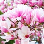 Magnolias are a stunning large shrub which mostly flowers early spring but some do flower in summer. Read our guide about growing magnolias, planting, pruning and more