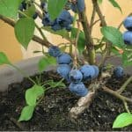 Growing blueberries in pots. If you want to grow blueberries then one exciting way to grow them is by planting and growing blueberries in pots and containers. Follow our guide now.