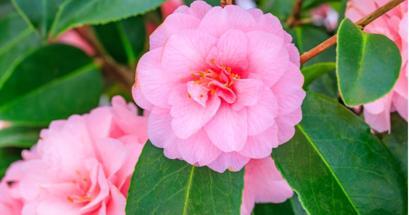 One of the best ways to grow Camellias is by growing camellias in pots. Read our guide on planting, choosing the right compost, watering, feeding and more.
