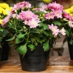 Growing chrysanthemums in pots. Growing chrysanthemums in pots are very easy and one of the best ways to grow them. They can be grown both outdoors or indoors and make stunning displays.