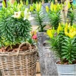 Growing lilies in pots