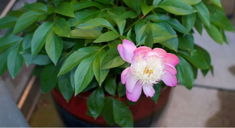 Growing peonies in pots require a bit more care compared to growing in the ground, and you'll need to choose a big enough container, Learn more about planting