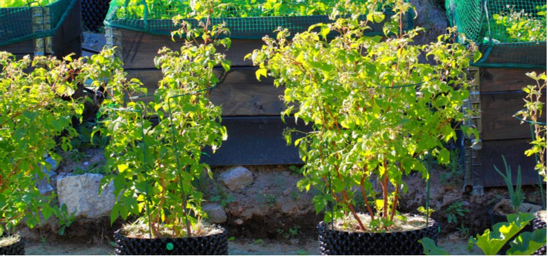 Growing raspberries in containers and pots