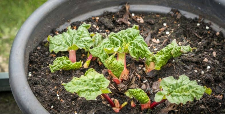 Growing rhubarb in pots – how to plant and grow tasty rhubarb in large containers
