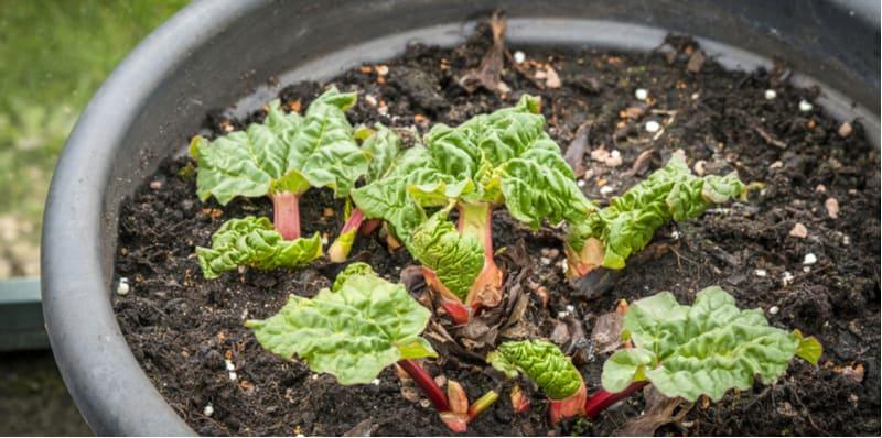 Growing rhubarb in pots