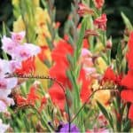 Growing gladioli can be very rewarding and they put on a spectacular show, learn to plant gladioli bulbs, grow and care for gladioli in our friendly guide now.