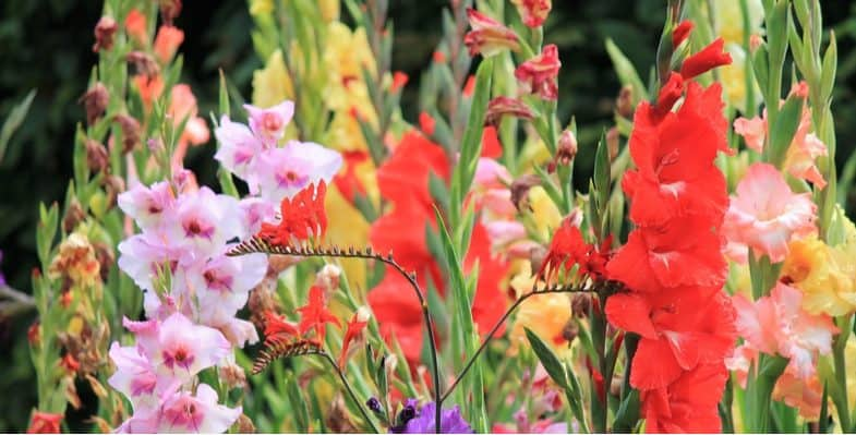 How and when to plant gladioli bulbs