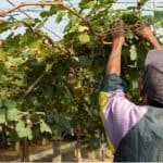 How and when to prune grapevines. In this guide, we explain how to prune grapevines and when to prune them. Follow our easy to follow guide now.