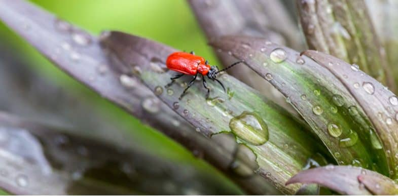 How to get rid of lily beetles