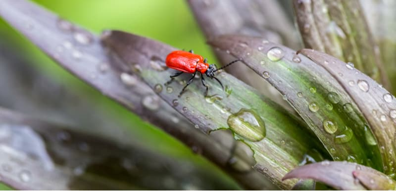 How to get rid of lily beetle. Do you have problems with those scarlet red lily beetles destroying your lilies? In this guide, we look at how to get rid of lily beetle and how to spot them.