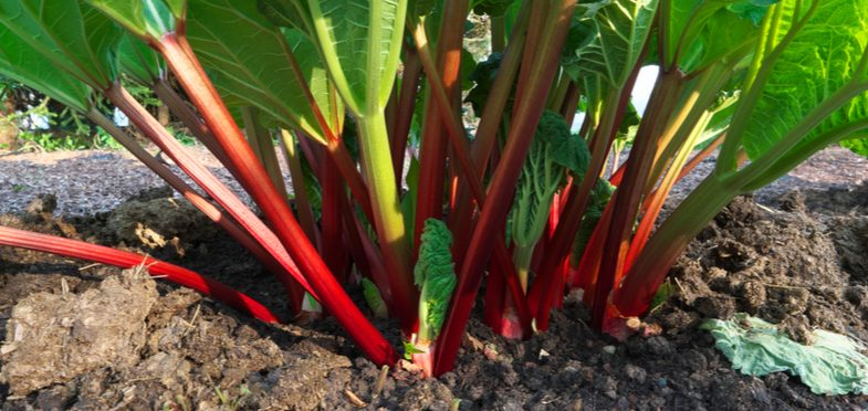 How to grow rhubarb – Detailed planting and care guide
