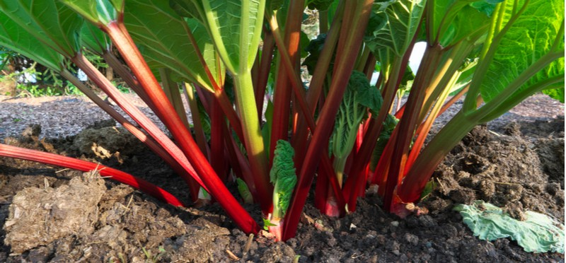 How to grow rhubarb. Rhubarb is a good choice for those looking to grow crops to eat. Rhubarb is also very easy to grow and care for, read our guide on how to grow rhubarb now.
