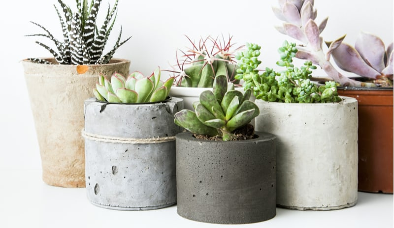 How to grow succulents in pots