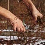 How to prune Blueberries. How to prune Blueberries. Prune branches that are 3 year or older to make way for new fresh growth, March is the perfect time.