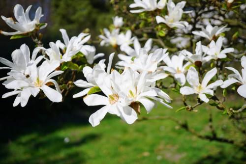 Magnolia general care