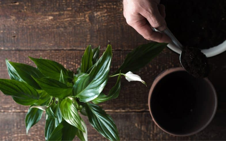 Peace lily care guide – How to plant and care for peace lilies