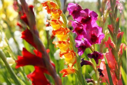 Planting gladioli bulbs