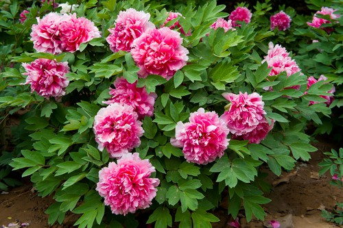 Planting peonies as bare-root plants or containerised plants. Don't plant to deep, just under the surface