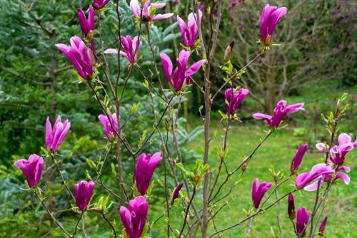 Pruning deciduous magnolias