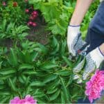 Pruning tree peonies. Tree peonies require very little pruning but pruning tree peonies can help encourage more flowers, form more compact plants and control the size. Learn more now
