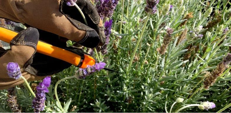 Pruning woody lavender plants