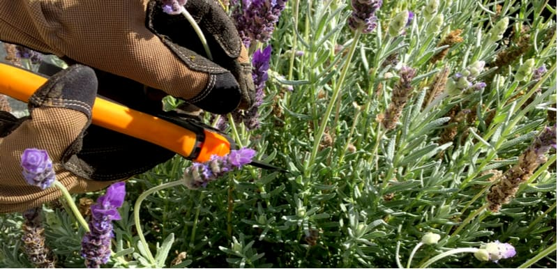 Ideally, you want to trim Lavender a little every year but what if it has not been pruned for a while, the trick is pruning woody lavender over a few years.